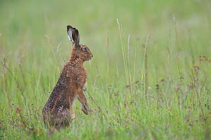 European hare (Lepus europaeus) sitting up on hind legs in meadow. Yonne, Bourgogne-Franche-Comte, France. May.  -  Cyril Ruoso