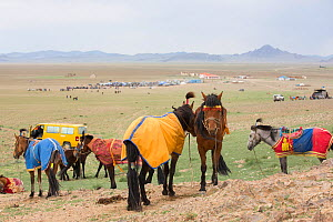Horses standing in steppe prior to racing. Naadam festival, Great Gobi B Strictly Protected Area, Mongolia. August 2018.  -  Cyril Ruoso