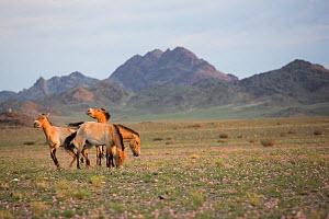 Przewalski horse (Equus ferus przewalskii), four mares grazing in steppe with mountains beyond. Reintroduced through European Endangered Species Program into acclimatisation enclosure, awaiting releas...  -  Cyril Ruoso