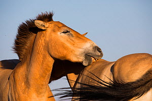 Przewalski horse (Equus ferus przewalskii), two mares nuzzling. Reintroduced through European Endangered Species Program into acclimatisation enclosure, awaiting release into wild. Takhin Tal National...  -  Cyril Ruoso