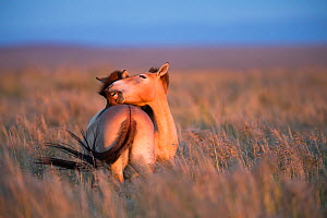 Przewalski horse (Equus ferus przewalskii), two nuzzling. Reintroduction program, Great Gobi B Strictly Protected Area, Mongolia. August 2018.  -  Cyril Ruoso