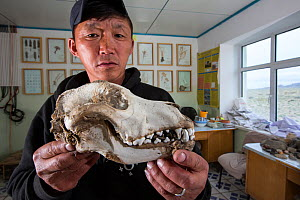 Wolf (Canis lupus) skull in man's hands. Wolves predate reintroduced Przewalski horse (Equus ferus przewalskii). Great Gobi B Strictly Protected Area, Mongolia. 2018. - Cyril Ruoso