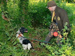 Louise Wilson of Conservation K9 Consultancy with sniffer dog Henry indicating that he has found a Hedgehog (Erinaceus europaeus) hidden in a daytime nest in undergrowth, Hartpury University, Gloucest... - Nick Upton