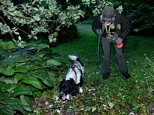 Louise Wilson of Conservation K9 Consultancy with sniffer dog Henry searching for Hedgehogs (Erinaceus europaeus) out foraging after dusk, Hartpury University, Gloucestershire, UK, June 2019. Model re... - Nick Upton