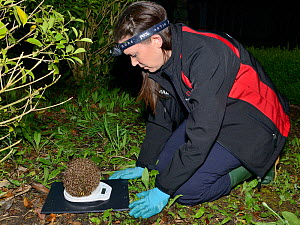Lucy Bearman-Brown weighing a Hedgehog (Erinaceus europaeus) found by a sniffer dog after dark, Hartpury University, Gloucestershire, UK, June 2019. Model released. - Nick Upton