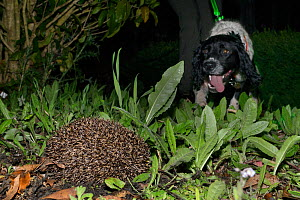 Sniffer dog Henry on his handler's leash, approaching a Hedgehog (Erinaceus europaeus) out foraging at night he has caught the scent of, Hartpury University, Gloucestershire, UK, June 2019. Model... - Nick Upton