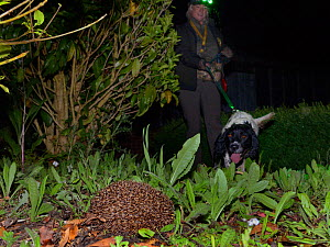 Louise Wilson of Conservation K9 Consultancy with sniffer dog Henry approaching a Hedgehog (Erinaceus europaeus) out foraging at night , Hartpury University, Gloucestershire, UK, June 2019. Model rele... - Nick Upton