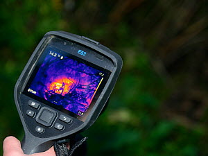 Thermal imager used to confirm there is a Hedgehog (Erinaceus europaeus) hidden in a nest where a sniffer dog has indicated it has found one, Hartpury University, Gloucestershire, UK, June 2019. Model... - Nick Upton