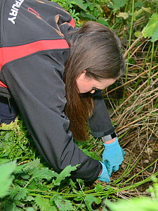 Lucy Bearman-Brown searches for a Hedgehog (Erinaceus europaeus) hidden in a nest where a sniffer dog has indicated he has found one, Hartpury University, Gloucestershire, UK, June 2019. Model release... - Nick Upton