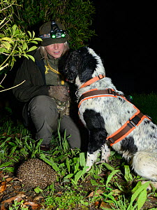 Louise Wilson of Conservation K9 Consultancy with sniffer dog Henry indicating that he has found a Hedgehog (Erinaceus europaeus) out foraging at night, Hartpury University, Gloucestershire, UK, June... - Nick Upton