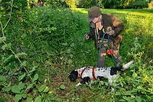 Louise Wilson of Conservation K9 Consultancy with sniffer dog Henry searching for Hedgehogs (Erinaceus europaeus) hidden in nests in undergrowth, Hartpury University, Gloucestershire, UK, June 2019. M... - Nick Upton