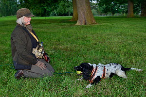 Louise Wilson of Conservation K9 Consultancy rewards sniffer dog Henry with his ball after he has indicated that he has found a Hedgehog (Erinaceus europaeus) hidden in a daytime nest in undergrowth,... - Nick Upton