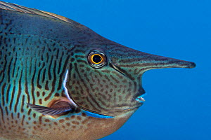 Spotted unicornfish (Naso brevirostris) Green Island, a small volcanic island in the Pacific Ocean , Taiwan - Magnus Lundgren / Wild Wonders of China