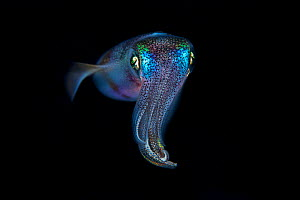 Bigfin reef squid (Sepioteuthis lessoniana), Green Island, a small volcanic island in the Pacific Ocean , Taiwan  -  Magnus Lundgren / Wild Wonders of China