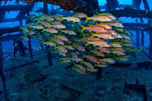 Artificial reefs packed with Goatfish (Mullidae) Green Island, a small volcanic island in the Pacific Ocean , Taiwan  -  Magnus Lundgren / Wild Wonders of China