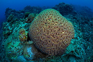 Brain coral, Green Island, a small volcanic island in the Pacific Ocean, Taiwan  -  Magnus Lundgren / Wild Wonders of China