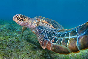 Green turtle, Chelonia mydas, also known as green sea turtle, is a large sea turtle of the family Cheloniidae. Green turtles are listed as endangered by the IUCN and CITES and is protected from exploi... - Magnus Lundgren / Wild Wonders of China