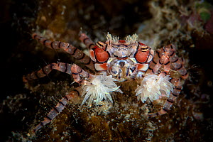 Boxer crab (Lybia tessellata) carrying a sea anemone around in each of its claws, Xiaoliuqiu Island, Taiwan - Magnus Lundgren / Wild Wonders of China