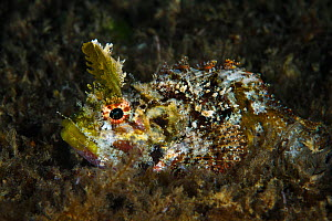 Mozambique scorpionfish (Parascorpaena mossambica) with distinctive horns. Xiaoliuqiu Island, Taiwan  -  Magnus Lundgren / Wild Wonders of China