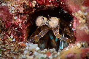 Mantis shrimp (Stomatopoda) in its den, Kenting National Park, Hengchun Peninsula, Taiwan  -  Magnus Lundgren / Wild Wonders of China