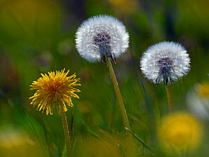 RF - Dandelion( Taraxacum officinale) seed heads and flowers - Ernie  Janes