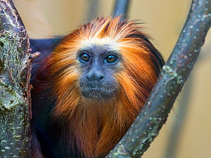 RF - Golden-headed lion tamarin (Leontopithecus chrysomelas) portrait, captive.  -  Ernie  Janes