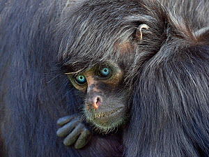 RF - Young Black headed spider monkey (Ateles fusciceps) with blue eyes, captive.  -  Ernie  Janes