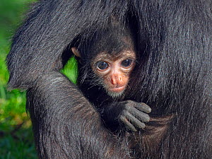 RF - Black headed spider monkey (Ateles fusciceps) with baby age four months, captive.  -  Ernie  Janes