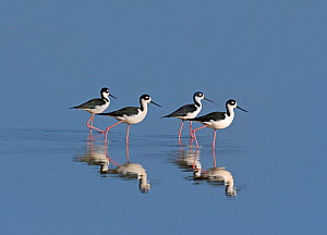 RF - Black-necked stilt (Himantopus mexicanus) in early morning sun, Costa Rica.  -  Ernie  Janes