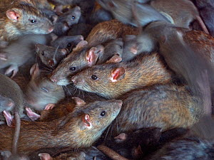 RF - Brown rats (Rattus norvegicus) large group in farm barn. - Ernie  Janes