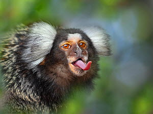 RF - Common marmoset (Callithrix jacchus) sticking out tongue, Captive, with digitally added leaf pattern  -  Ernie  Janes