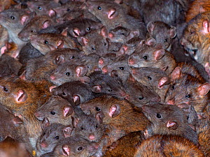 Mass of Brown rats (Rattus norvegicus) in farm barn, UK - Ernie  Janes