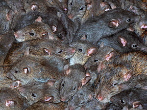 Mass of Brown rats (Rattus norvegicus) in farm barn - Ernie  Janes