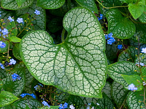 Brunnera macrophylla 'Jack Frost', cultivated plant. - Ernie  Janes