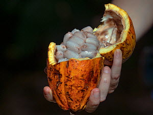 Cacao tree (Theobroma cacao) pod opened showing cacao beans.  -  Ernie  Janes