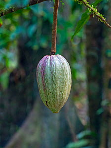 Cacao tree (Theobroma cacao) showing fruit pod  -  Ernie  Janes