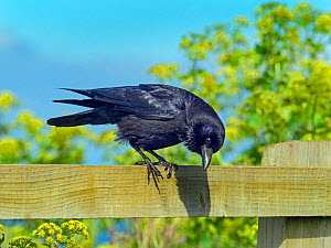 Carrion crow (Corvus corone) perched on field fence, Norfolk, England, UK, April. - Ernie  Janes