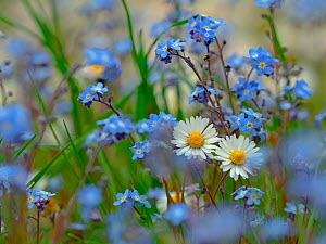 Daisies (Bellis perennis) and Forget-me-not (Myosotis arvensis) in garden, Norfolk, England, UK, May. - Ernie  Janes