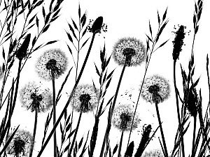 Dandelion (Taraxacum officinale) seed heads and grasses - Ernie  Janes