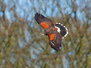 Harris's hawk (Parabuteo unicinctus) in flight, captive falconry bird.  -  Ernie  Janes