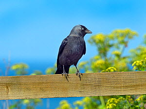 Jackdaw (Corvus monedula)perched on farmland fence, Norfolk, England, UK. May. - Ernie  Janes