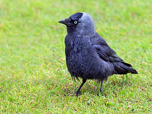 Jackdaw (Corvus monedula) feeding on farmland, Norfolk, England, UK. May. - Ernie  Janes
