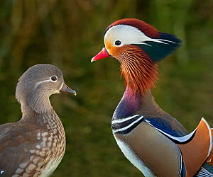 Portrait of a Mandarin duck (Aix sponsa) male animal and female. UK. Introduced species.  -  Ernie  Janes