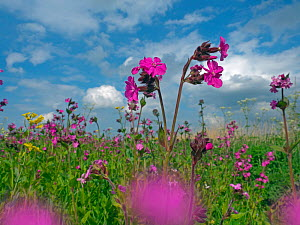 Red campion (Silene dioica) and self seeded Rapeseed (Brassica napus subsp. napus) Norfolk, UK, May. - Ernie  Janes