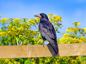 Rook (Corvus frugilegus)perched on fence, East coast, Norfolk, England, UK, April.  -  Ernie  Janes