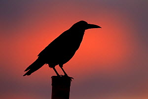 Rook (Corvus frugilegus) perched on fence post at sunset, Norfolk, England, UK, February.  -  Ernie  Janes