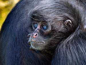 Young Black headed spider monkey (Ateles fusciceps) with blue eyes, portrait, captive. Occurs in Central and South America. Critically endangered species. - Ernie  Janes