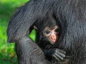 Black headed spider monkey (Ateles fusciceps) with baby age five. Captive. Occurs in Central and South America. Critically endangered species.  -  Ernie  Janes