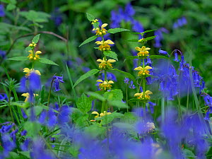 Bluebells (Hyacinthoides non-scripta) and Yellow Archangel (Lamium galeobdolon) Blickling Great Wood, Norfolk, England, UK, May. - Ernie  Janes