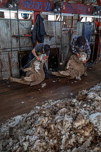Domestic sheep (Ovis aries) shearing. Cerro Castillo, Torres del Paine area, Patagonia, Chile. April 2018.  -  Ingo Arndt